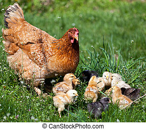 Chicken with babies - Closeup of a mother chicken with its...