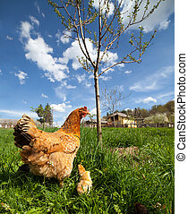 Chicken with babies - Closeup of a mother chicken with its ...