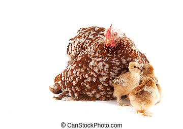 Chicken with little chicks