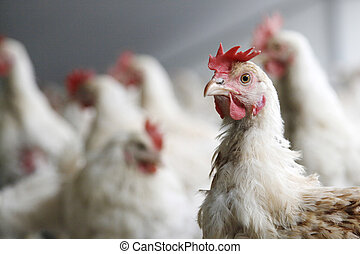 chicken looks into the camera with others chickens in the background