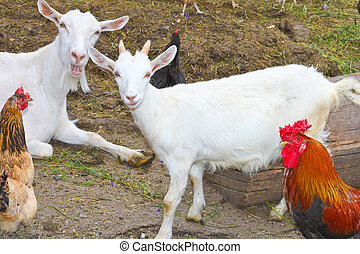 Chickens and goats on the farm