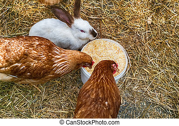 chickens and rabbits in the yard at the farm