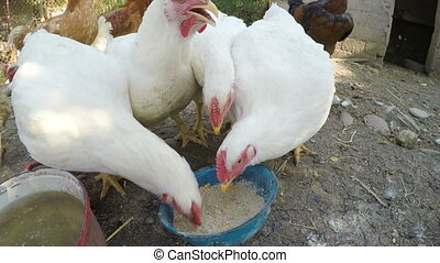 Chickens eating from a trough in a stable at the countryside
