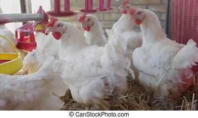 Chickens Farm - White Chickens at Poultry Farm