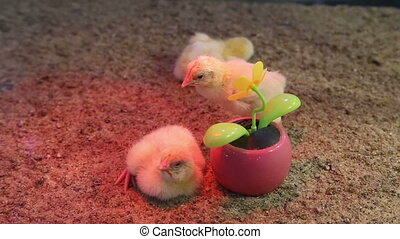 chickens flower