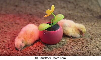 chickens flower
