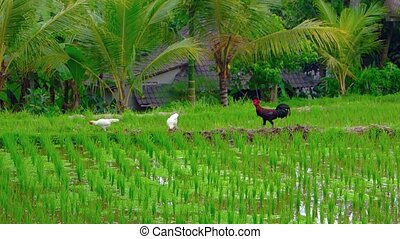 Two hens and a rooster forage and strut over the dams dividing paddies of a traditional, Balinese rice plantation. Video 4k 2160p
