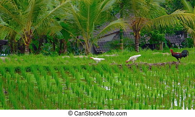 Two hens and a rooster forage and strut over the dams dividing paddies of a traditional, Balinese rice plantation. Video 1080p 1080p
