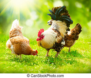 chickens., gama libre, gallinas, gallo, gallo