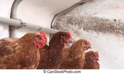 Chickens in a brooder house - Free-Range chickens laying...
