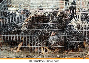 Chickens in a cage. Bird's farm.