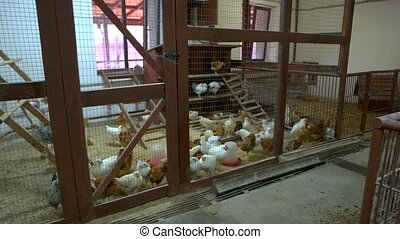 Chickens in henhouse at poultry farm. Chickens inside the...
