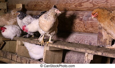 Chickens in the chicken coop - Group of domestic hens...