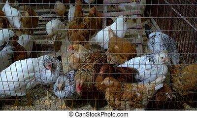 Chickens in the hen house. Group of chickens at eco farm....