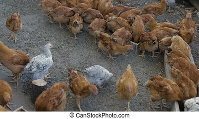 Chickens on the farm - Chickens peck the grain,ful hd video