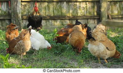 Chickens on the  grass
