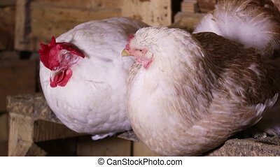 Chickens sitting at the roost in the henhouse