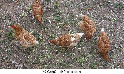 Chickens feeding at a farm in Greek village