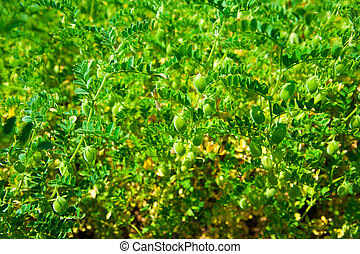 Green pod chickpea are growing on the field
