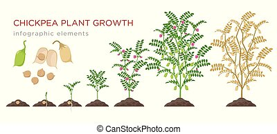 Chickpea plant growth stages infographic elements. Growing process of chickpeas from seeds, sprout to mature plant growing from soil, life cycle isolated on white background vector flat illustration