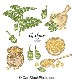 Chickpea plant isolated on white background. Hand drawn legumes. Vector illustration.