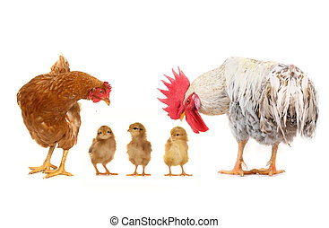 chicks and cock on a white background