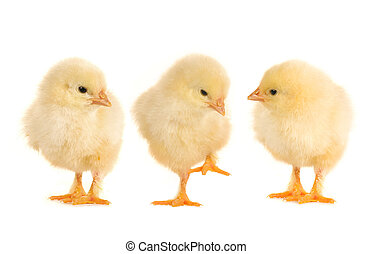 chicks and  on a white background