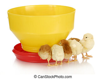 feeding chickens - young chicks standing around feeder on white background