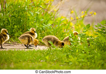 Image of Canadian goose chicks in grass