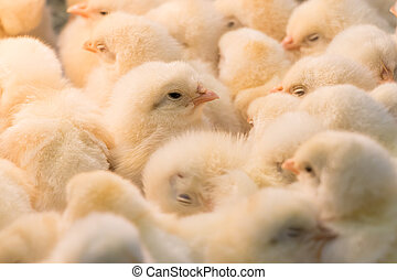 Chicks  - Large group of baby chicks in chicken farm