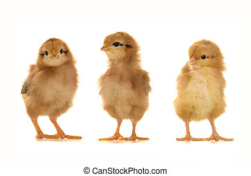 chicks on a white background