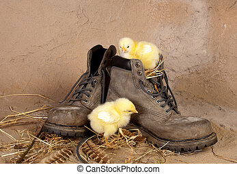 Chicks on an old boot