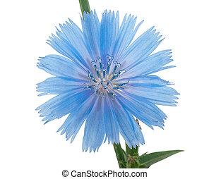 Chicory flower. Macro