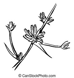 Chicory flower sketch. Black hand drawn vector illustration isolated on white background.