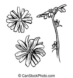 Chicory flower sketch set. Black hand drawn vector illustration isolated on white background.