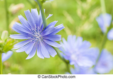 Chicory flower - Chicory blue flower blooming in nature,...
