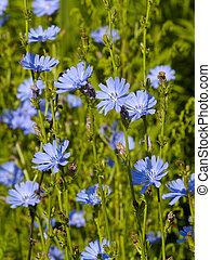 Chicory flowers on a branch with buds