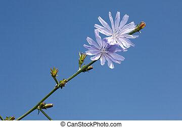 chicory on blue sky