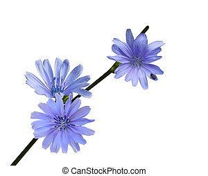 Chicory Wildflower - Chicory wild flower isolated on white...