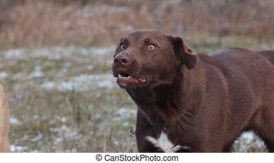 chien, aboiements, projection, colère, dents