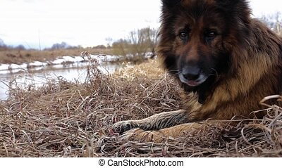 chien, berger, allemand