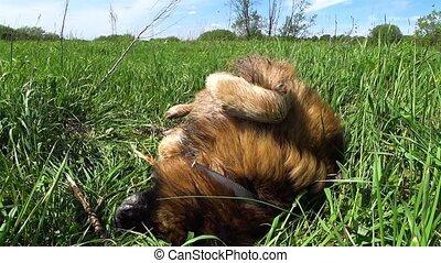 chien, berger, allemand, herbe verte, mensonges