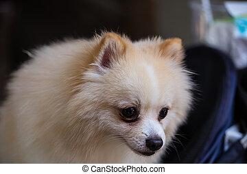 chien blanc, pomeranian