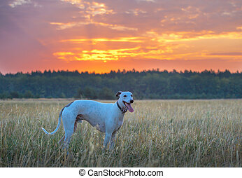 chien blanc, whippet
