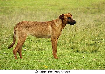 chien brun, champ