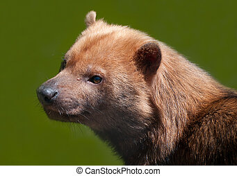 chien bush