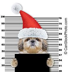 chien, claus, isolé, shitzu, santa, prison., blanc