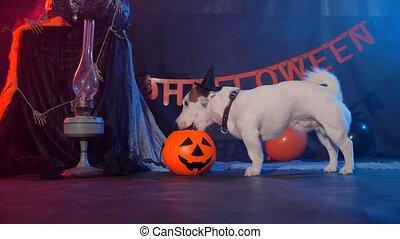 chien, concept., halloween, manger, citrouille, rigolote, célébration