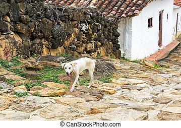 chien, dans, guane, colombie
