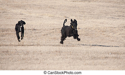chien de chasse, noir